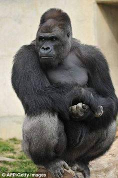Gorilla Shabani who was raised in Australia has found fame in Japan | Daily Mail Online