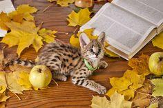 serval cat pet | serval # pet # kitten # photoset
