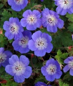 "Geranium ""Rozanne"". This is a wonderful perennial. It blooms almost all season long!"