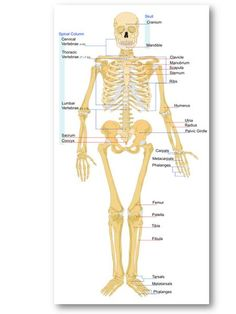 U człowieka dorosłego szkielet składa się z około 206 kości - liczba ta jest większa u dzieci ze względu na wiele punktów, spada dopiero po połączeniu.