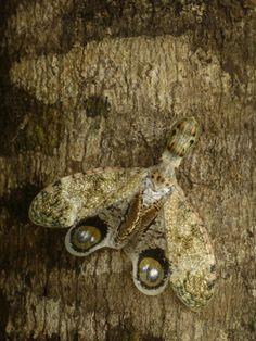 Lantern Bug (Fulgora Laternaria) Camouflaged on Tree Trunk, Amazon Rainforest, Ecuador Photographic Print by Pete Oxford at Art.com