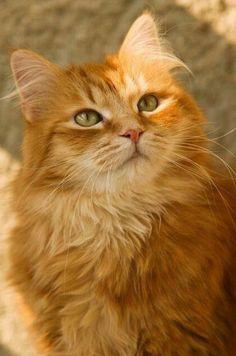 Beautiful Tabby cat.  Yellow.  Orange.  Lovely.