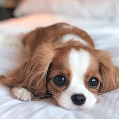 Probably the tiniest cavalier puppy who is taking the internet by storm with nothing else but his cuteness. Super Cute Puppies, Baby Animals Super Cute, Cute Baby Dogs, Cute Little Puppies, Cute Dogs And Puppies, Cute Little Animals, Cute Funny Animals, Cute Cats, Doggies