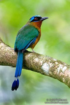 The Blue-crowned Motmot or Trinidad Motmot (Momotus momota) is a colourful near-passerine bird found in forests and woodlands of eastern Mexico, Central America, northern and central South America, and Trinidad and Tobago.