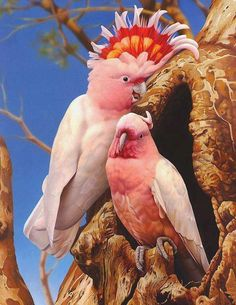 Cockatoos are recognizable by the showy crests and curved bills. Their plumage is generally less colorful than that of other parrots, being mainly white, grey or black and often with colored features in the crest, cheeks or tail.