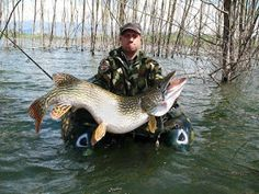 This incredible world record size northern pike weighed in at 52 pounds  (24kg) – just a few pounds shy of the world record pike! This ...