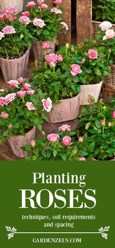 Planting roses from a container: techniques, soil requirements and spacing #roses #springplanting #gardening
