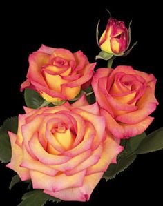 Rose: Dream Come True Height / Habit: Tall / Upright & bushy Bloom / Size: Large, full Petal count: Around 40 Parentage: Unknown x Unknown Fragrance: Mild tea Hybridizer: Pottschmidt - 2008 Comments:Very floriferous. Larger flower size in cooler temps. Pretty Roses, Beautiful Roses, Beautiful Gardens, Yellow Roses, Pink Roses, My Flower, Flower Power, Coming Up Roses, Garden Art