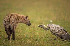 Hyäne und Geier - Showdown in der Savanne Kenias: Wenn Blicke töten könnten. Diese Hyä'ne und der Aasgeier starren sich gnadenlos an. Das Federvieh will dem Raubtier doch tatsä'chlich ein Stü…ck seiner Beute stibitzen.