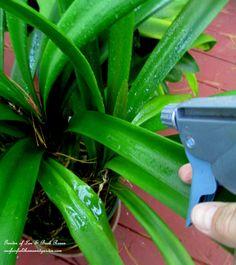 DIY ~ Spray your houseplants with Organic Dormant Oil Spray before bringing them inside! Click for the recipe! (Garden of Len & Barb Rosen)