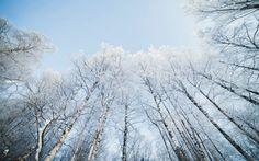 Background High Resolution: birch