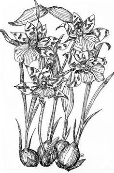 Solitary Dog Sculptor I: Botany - Botanica: Zygopetalum - (Orchidaceae) - Part 1 - Wiki data Español and English