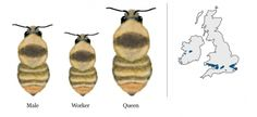 Very rare | Bumblebee Conservation Trust Bug Art, Planting Plan, Insect Art, Nests, Colour Schemes, Garden Styles, Conservation, Garden Design, Trust