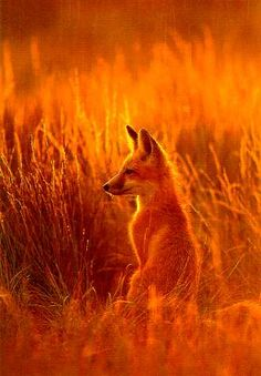 Orange Sunset Fox