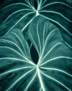 Dark botanical print plant leaves macro spring garden - Elephant ears 8 x 10 ~ETS Cool Plants, Green Plants, Tropical Plants, Leave In, Photographie Macro Nature, Green Leaves, Plant Leaves, Photo Macro, Cactus Plante