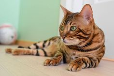 Mystic the Bengal posing for the camera