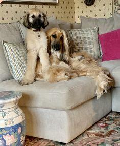 Albino Dog, Kitten Love, Afghan Hound, Afraid Of The Dark, Mans Best Friend, Dog Grooming, Poodle, Puppy Love, Best Dogs