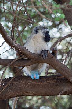The vivid blue scrotum of the African vervet monkey