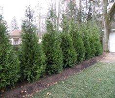 Little Giant Can Can Arborvitae - This tree is being used in place of Emerald Greens. It is a much better tree, as it has no winter die-back and grows only 8 to 10 feet tall and 3 to 4 feet wide, very nice privacy tree for smaller yards. Privacy Landscaping, Backyard Privacy, Home Landscaping, Backyard Plants, Garden Trees, Lawn And Garden, Green Giant Arborvitae, Landscape Design, Garden Design