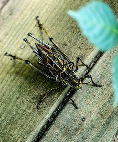 Eastern lubber grasshoppers - Garden pest to know via @gardenexperimnt