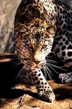 Balestrini, Tommaso - Leopard