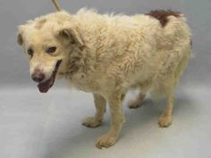 SAFE RTO 4-10-2016 --- SUPER URGENT Brooklyn Center FIN – A1069576  SPAYED FEMALE, WHITE / BROWN, AUST SHEPHERD MIX, 8 yrs STRAY – STRAY WAIT, NO HOLD Reason STRAY Intake condition EXAM REQ Intake Date 04/07/2016