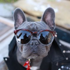 Bozly the French Bulldog is the most Stylish French Bulldog at the Larchmont Library French Bulldog Names, French Bulldog Mix, French Bulldogs, English Bulldogs, French Bulldog Halloween Costumes, Pug Breed, Dogs And Puppies, Dog Lovers, Cute Animals