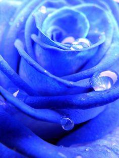 blue rose... dew dropw - vdubber1's photostream.