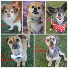 We actually have a total of 6 seniors coming in. We are always in need of foster families. We provide the food, bed, bowls, vet care, training (if needed) & you provide the love❤️. We are accepting out of town & out of state adoption applications. The requirement is the potential adopter would need to meet the dog of their choice here in Fresno,CA to make sure it was a good fit. For more info about out of town/state adoptions, please call Elder Paws Senior Dog Rescue in CA at 559-261-5746.