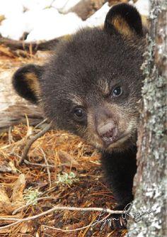 grumpy young brown bear peeking around a tree Love Bear, Dog Love, Cute Funny Animals, Cute Baby Animals, Nature Animals, Animals And Pets, Beautiful Creatures, Animals Beautiful, Bear Cubs