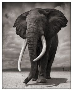 Un Zèbre Bleu: un éléphant ...