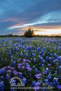Verbena Sunset - Texas Wildflower Sunset Landscape, Verbena and Bluebonnets by Gary Regner