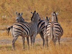 Radiografía de una jornada de safari móvil en Botswana - El rincón de Sele