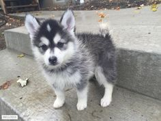 Pomsky Puppies Only 10 12 Lbs Full Grown Puppies Pomsky