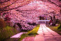 Los cerezos rosados de Japón, también llamados sakura.