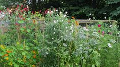 Sweet peas, borage, ammi majus and nasturtiums growing on our organic flower farm.