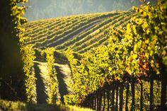 Vineyards in Anderson Valley #lacremawines