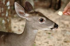 A TALE OF THE WHITETAIL - http://aktun-chen.com/blog/a-tale-of-the-whitetail.html