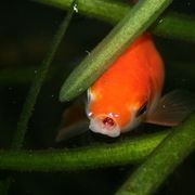1000 images about garden ponds on pinterest floating for Goldfish pond plants