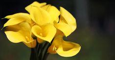 copo-de-leite-amarelo-1.jpg (956×500)