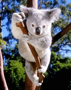 Lone Pine Koala Sanctuary, Australia  When My Student Loans are Paid, I'm going!