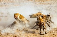 . I Am Angry. Photography by © (NingYu Pao). In Etosha National Park . Four Lions were devouring a large kudu that they killed. A pack of hyenas appeared from the bush nearby attracted by the small of blood and food for them. What ensued is a fight...