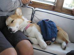 corgi nap time!