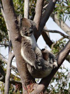 Yanchelp NP - Koala Napping   Koalas are not indigenous to W…   Flickr