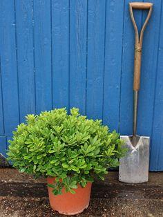 PART SHADE- Pittosporum tobira 'Nanum'  Shrub, Spring bloomer, evergreen, cold hardy to 20F, drought tolerant. 10'-12' tall