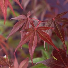 Japaninvaahtera 'Atropurpureum' 3 L - Plantagen. Trees To Plant, Plant Leaves, Acer, Flowers, Plants, Blog, Inspiration, Porches, Biblical Inspiration