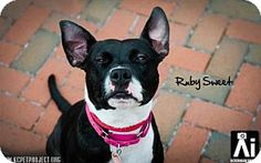 Kansas City, MO - Pit Bull Terrier Mix. Meet Ruby Sweet, a dog for adoption. http://www.adoptapet.com/pet/12984632-kansas-city-missouri-pit-bull-terrier-mix