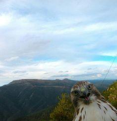Hawk photobomb