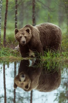 "tulipnight: "" Double Bear by derliebewolf """
