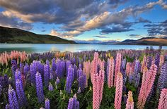 Lovely Lupines on Lake Tekapo The brightly hued wild lupines along turquoise Lake Tekapo are some of New Zealand's most iconic sights. Travelers come to Lake Tekapo to cycle its shores, soak in its hot pools, or stargaze at night.